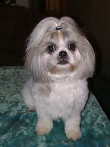 pictures of shih tzu haircuts pin shih tzu hairstyles on pinterest