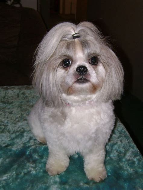 shih tzu puppy hair styles pin shih tzu hairstyles on