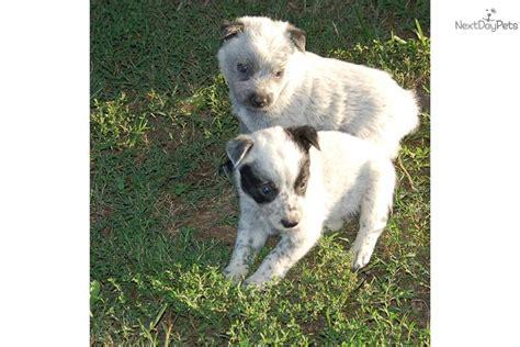queensland puppies queensland heeler puppy for sale near springfield missouri 8695564b 7fd1