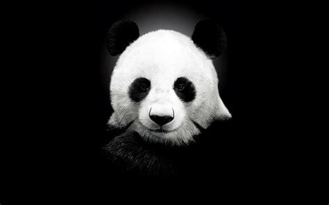 Black Panda panda black and white wallpaper 2560x1600 6080