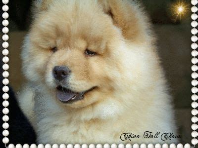 chow chow puppies for sale in pa best 25 chow chow for sale ideas on chow puppies for sale image for