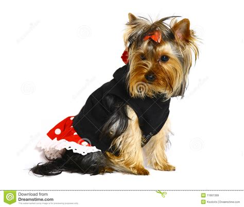 yorkie terrier clothes terrier in clothes royalty free stock images image 11661399