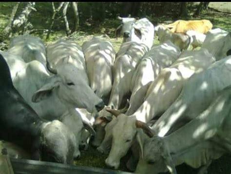 imagenes de ureña venezuela vacas brahman comiendo pasto de corta con urea y melaza