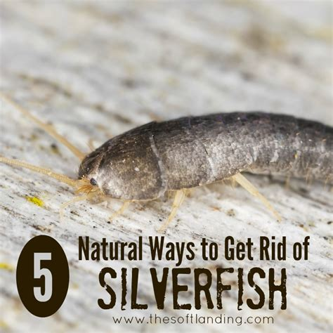 how do i get rid of silverfish in my bathroom 5 natural ways to get rid of silverfish the soft landing 174