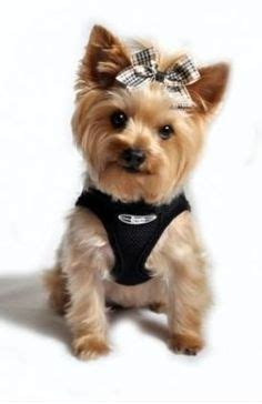 black yorkie dog hairstyles yorkie teddy bear cut yorkies pinterest pets puppys