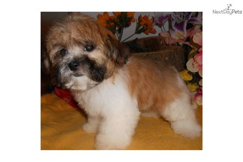 shih tzu puppies for sale evansville indiana teddy puppies near chicago breeds picture