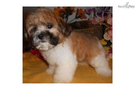 shih tzu puppies chicago shih tzu puppy for sale near chicago illinois a52af34f b391