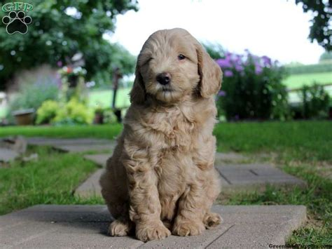 mini goldendoodles richmond va 1000 images about puppies for sale on