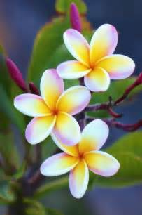 plumeria flower 25 best ideas about plumeria flowers on hawaii flowers tropical flowers and