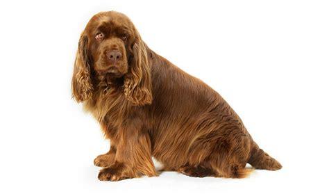 sussex spaniel puppies sussex spaniel breed information