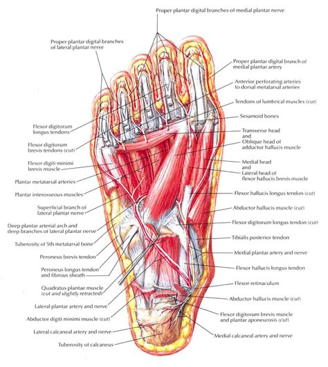 Sole Of The Foot Anatomy - Human Anatomy Diagram Foot Arch Muscles