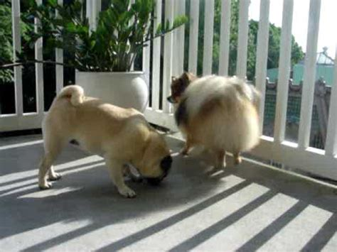 pomeranian and pug pomeranian and pug on the terrace