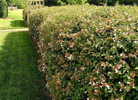 prezzi piante da giardino piante da siepe prezzi siepi costo delle piante da siepe