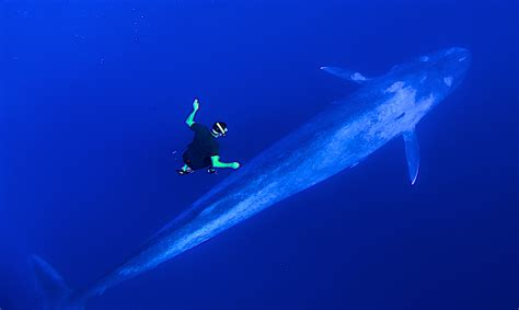 dive blue scuba diving with blue whales www imgkid the image