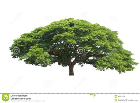 big names big tree isolated common name saman tree monkeypod gi stock photo image
