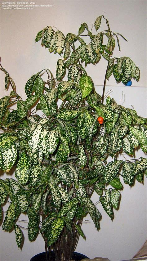 Tanaman Dracaena Florida florida www topsimages