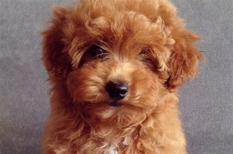 what is a teddy puppy 15 signs your is actually a teddy