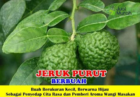 Bibit Jeruk Purut jeruk purut berbuah jualbenihmurah