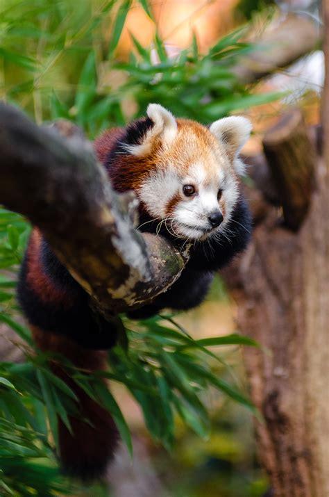 red panda sleeping  tree branch  stock photo