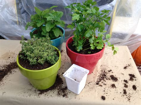 Growing Herbs Inside Grow Herbs Indoors In Winter Harvest To Table