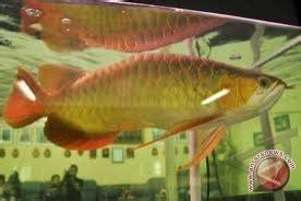 Anakan Arwana Kalimantan konservasi ikan arwana danau empangau kapuas hulu menggembirakan antara news kalbar antara