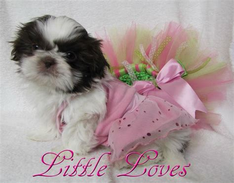 shih tzu breeders in washington state shih tzu breeders washington state assistedlivingcares
