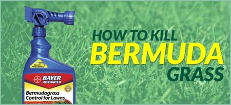 how to poison a how to kill bermuda grass yardcaregurus