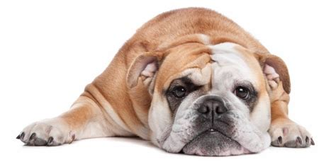 is rice bad for dogs best food for bulldogs 5 great options 1 bad
