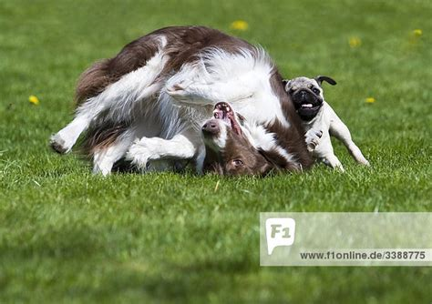 border collie pug border collie and pug puppy on lawn rights managed image f1online stock