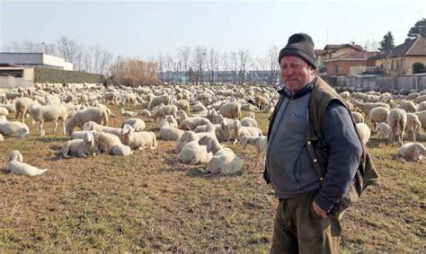 beato matteo pavia vigevano gregge di pecore in viaggio cronaca la