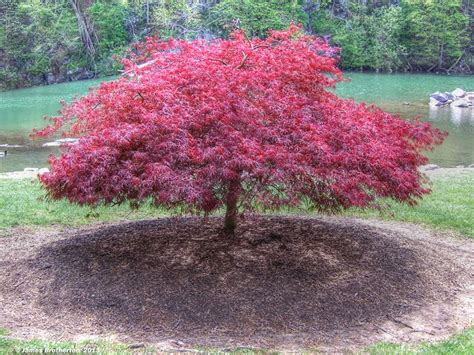 maple tree planting spacing laceleaf japanese maple zen garden tree landscaping a peaceful space projects