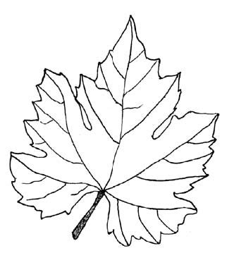 drawn grapes grape leaf pencil and in color drawn grapes drawn grapes grape leaf pencil and in color drawn grapes