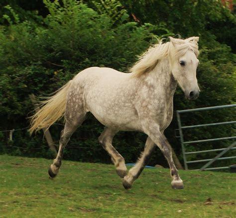 pony at our eriskay ponies the eriskay pony society