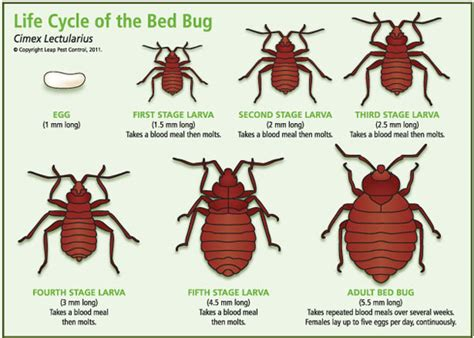 life cycle of a bed bug bed bug life cycle without food pictures to pin on