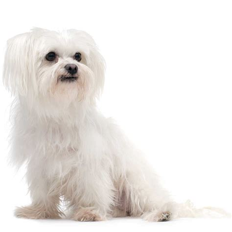 breeds and information maltese breed 187 information pictures more