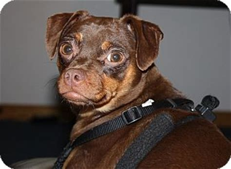 pug pinscher mix adopted puppy 877 homer ny miniature pinscher pug mix