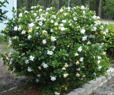 Gardenia Shrub And S Gardenias And Lillies