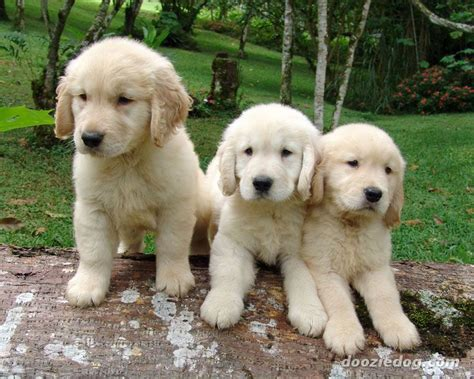 american golden retriever puppies dogs pets february 2013