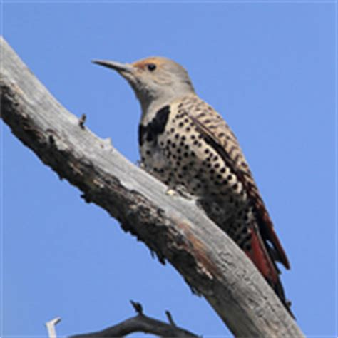 northern flicker sound to sage