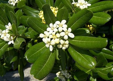 cespugli fioriti sempreverdi pittosporo arbusto sempreverde pollicegreen