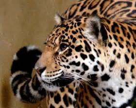 Jaguar Cat Wiki File Yaguara Jaguar Panthera Onca Jpg