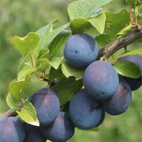 damson fruit trees merryweather damson tree