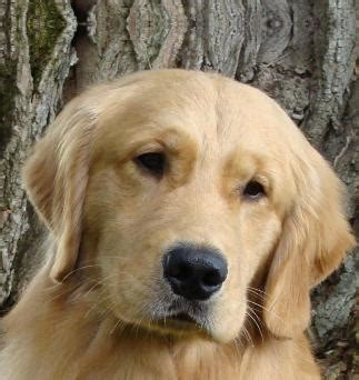golden retriever breeders oregon golden retriever puppies breeder oregon dogs in our photo
