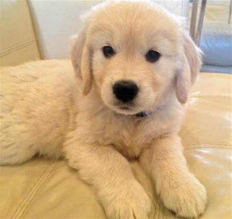 golden retriever puppy not the golden retriever puppies daily puppy