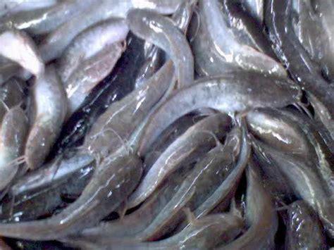ÿþjual Bibit Ikan Arwana Murah bisnis budi daya lele alren