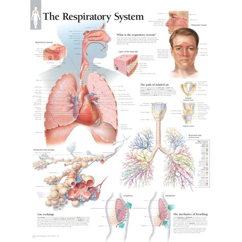anatomy and physiology coloring workbook answers page 78 81 respiratory system coloring review respiratory