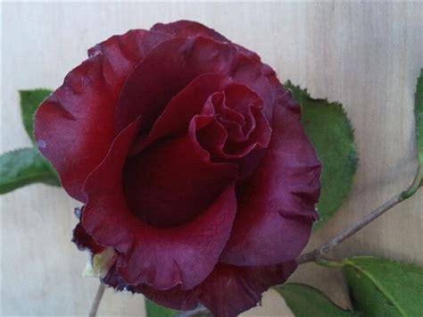 Black Camellia camellia japonica black magic