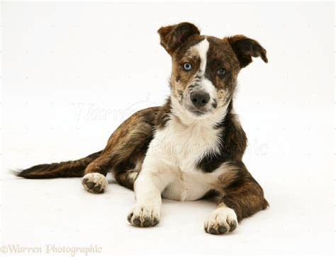 Dog: Mongrel pup photo - WP17081