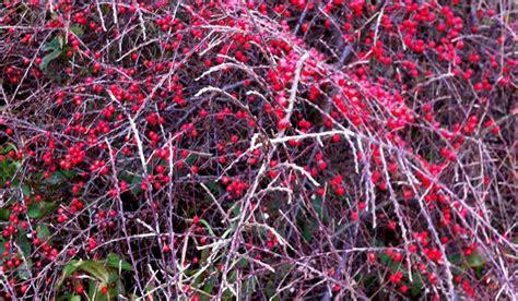 Plante Grimpante Qui Pousse Vite by Plante Couvre Sol Qui Pousse Vite Corylopsis With
