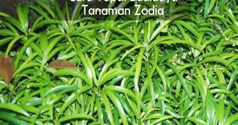 Bibit Zodia cara tepat budidaya tanaman zodia pabrik dan distributor